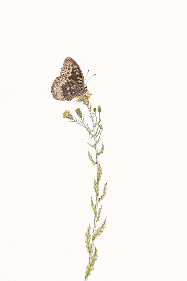 Great Spangled Fritillary Drawing  - Great Spangled Fritillary Fine Art Print