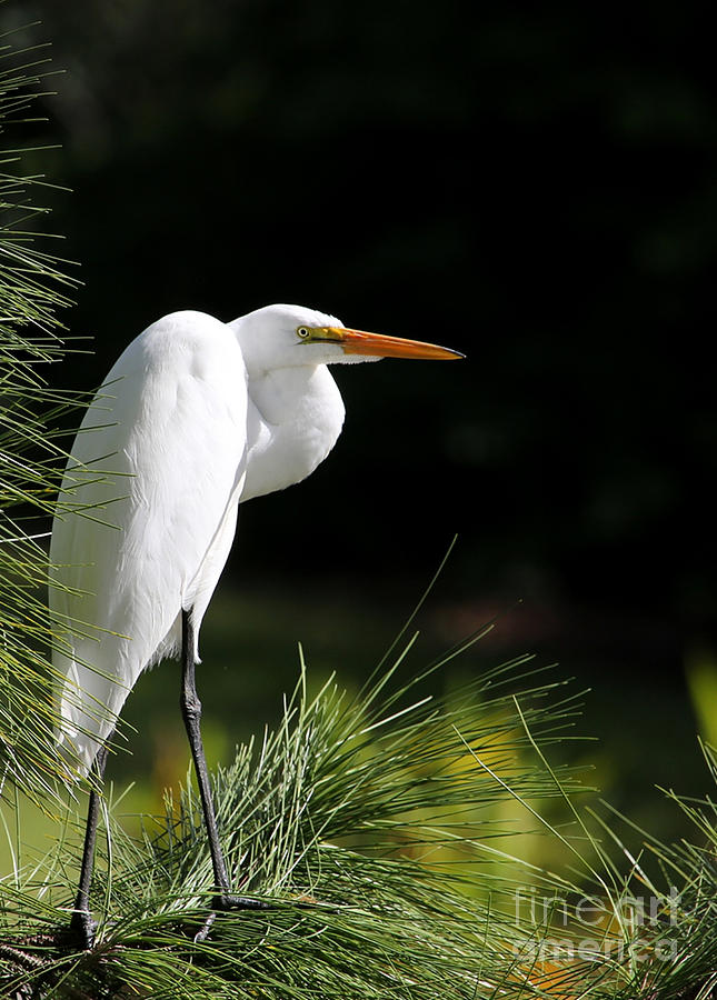 Landscape Photograph - Great White Egret In The Tree by Sabrina L Ryan