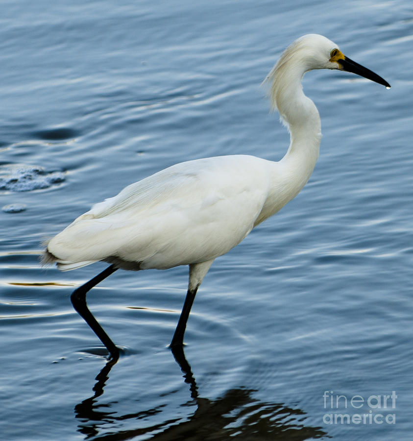 Great White Heron by Dale Powell