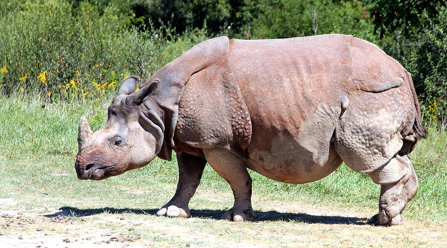Greater One-horned Asian Rhino Photograph