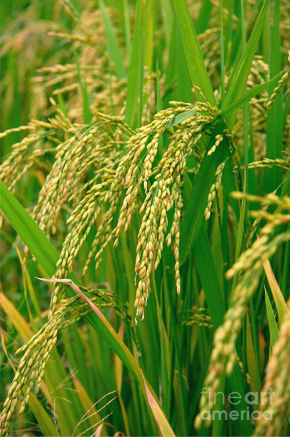 Green Beautiful Rice Farming Photograph  - Green Beautiful Rice Farming Fine Art Print