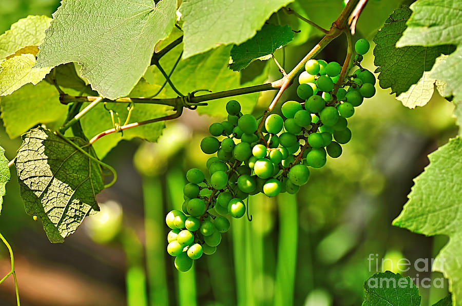 Green Berries Photograph
