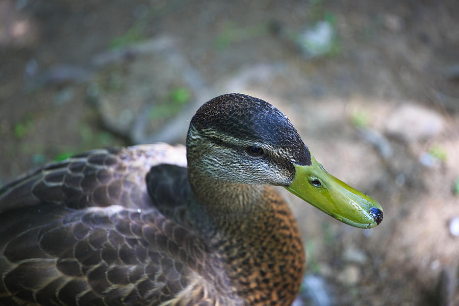 5d Mark Iii Photograph - Green-billed Duck by John Hoey