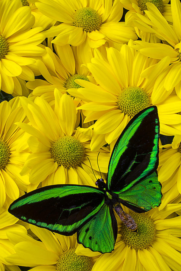 Green Butterfly On Yellow Mums Photograph