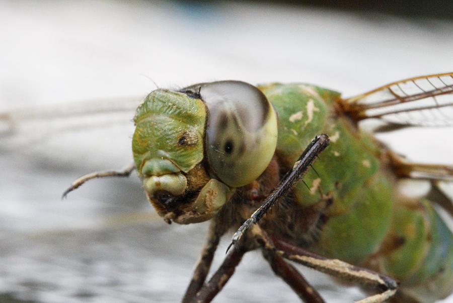 Green Dragon  Photograph