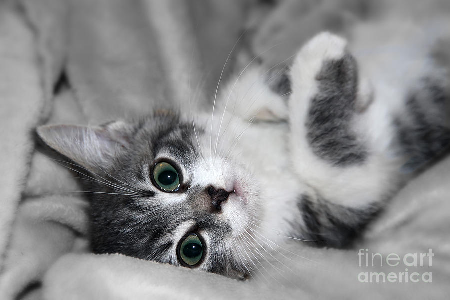 Green Eyed Kitten Photograph