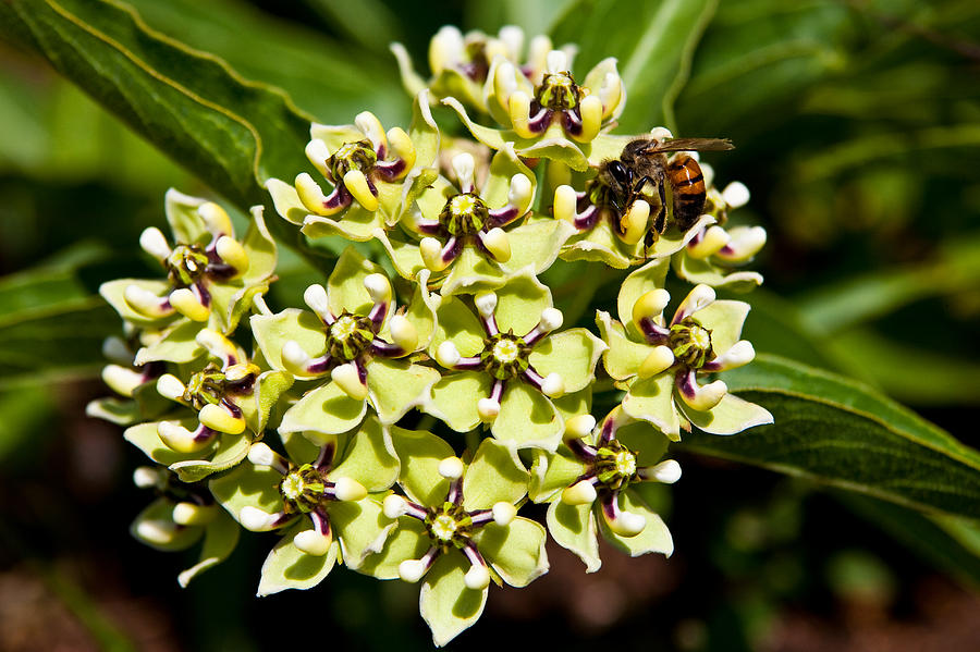 Green Flowered Milkweed Photograph