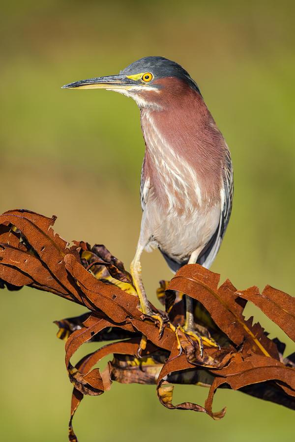 Green Heron Photograph