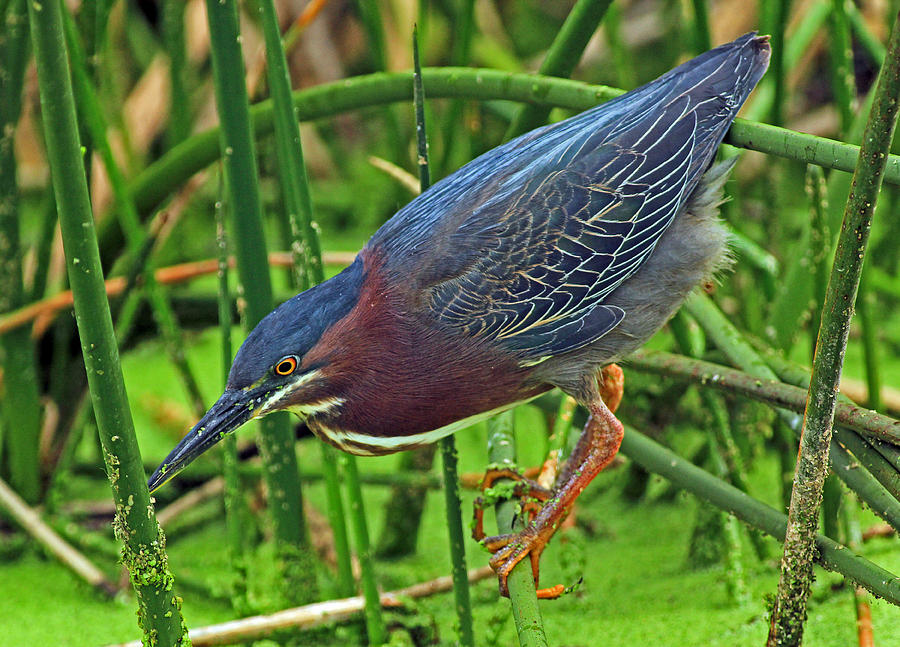 Green Heron Habitat Photograph