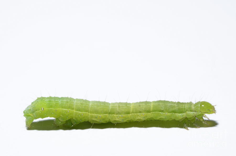 Green Inchworm On White Background Photograph