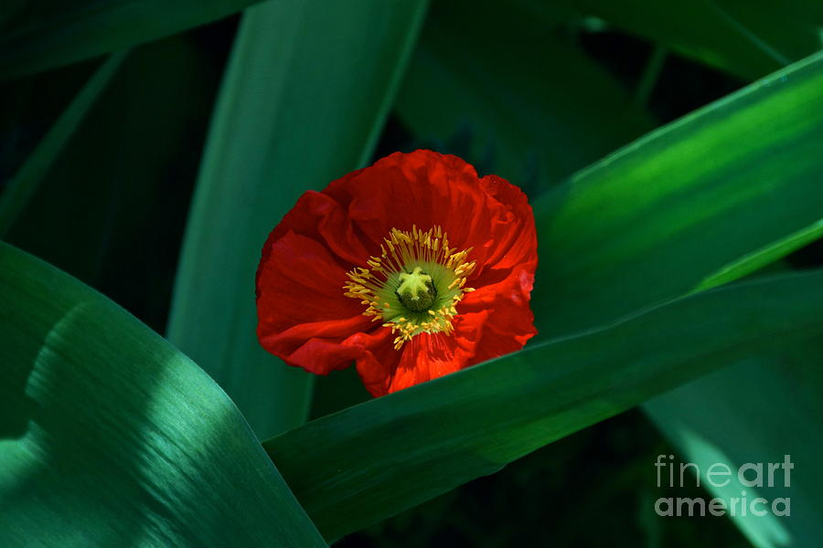 Red Poppy And Long Bright Green Leaves Photograph - Green Loves Red Loves Green by Byron Varvarigos