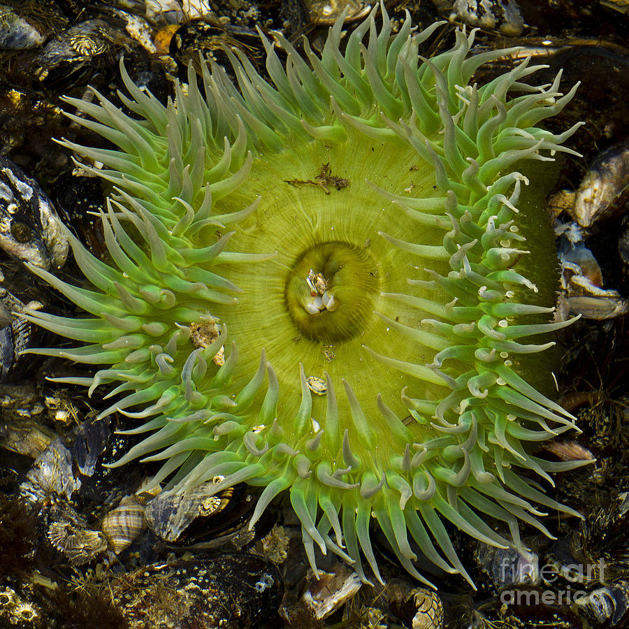Green Sea Anemone Photograph by Carrie Cranwill