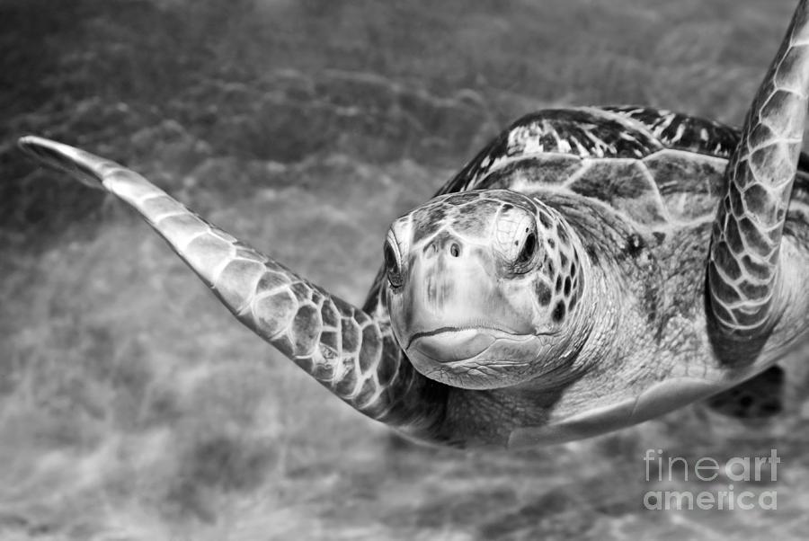 Green Sea Turtle. Photograph