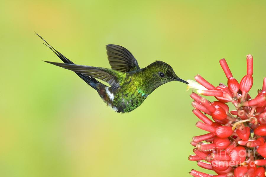 Green Thorntail Hummingbird Photograph