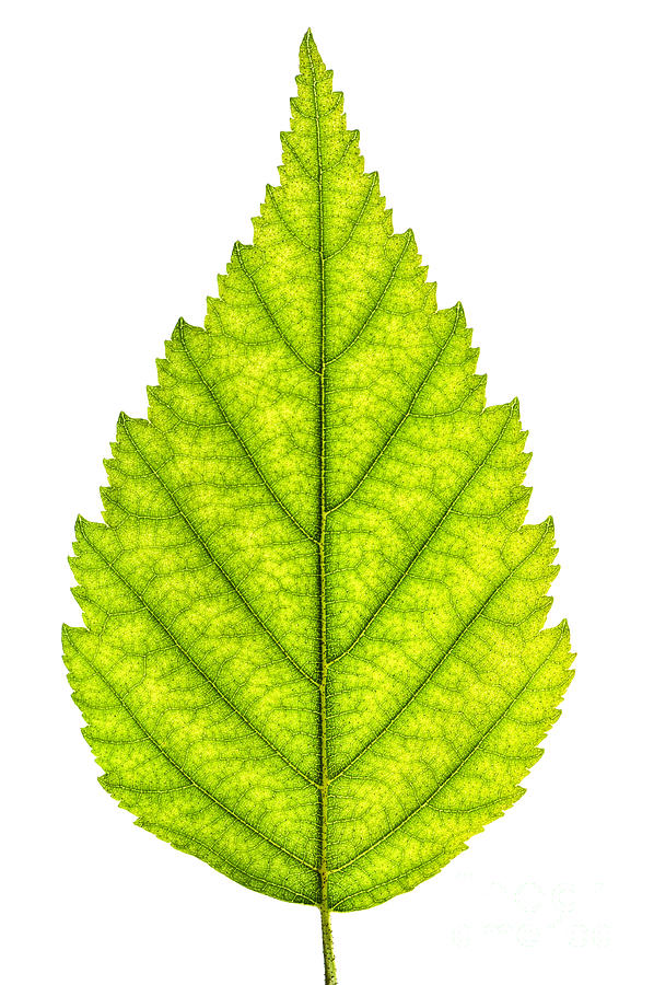 Green Tree Leaf Photograph