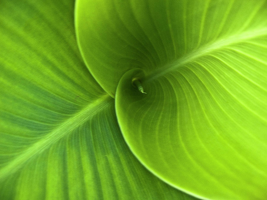 Green Twin Leaves Photograph