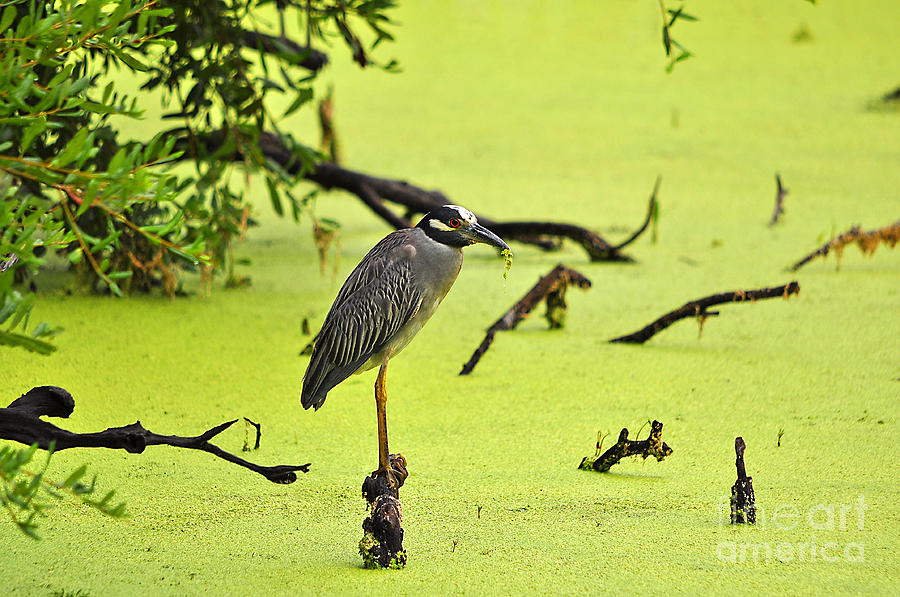 Heron Photograph - Green Yellow And Red by Al Powell Photography USA