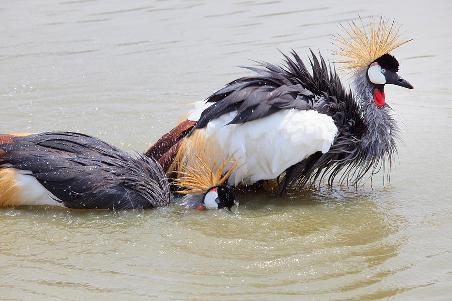 Grey Crowned Crane Washing In Natural Water Pool Photograph