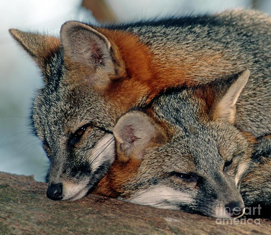 Grey Foxes Photograph
