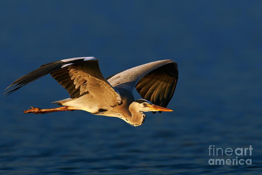 Grey Heron In Flight Photograph