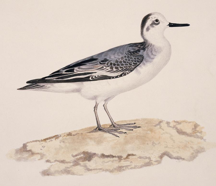 Grey Phalarope, 19th Century Photograph
