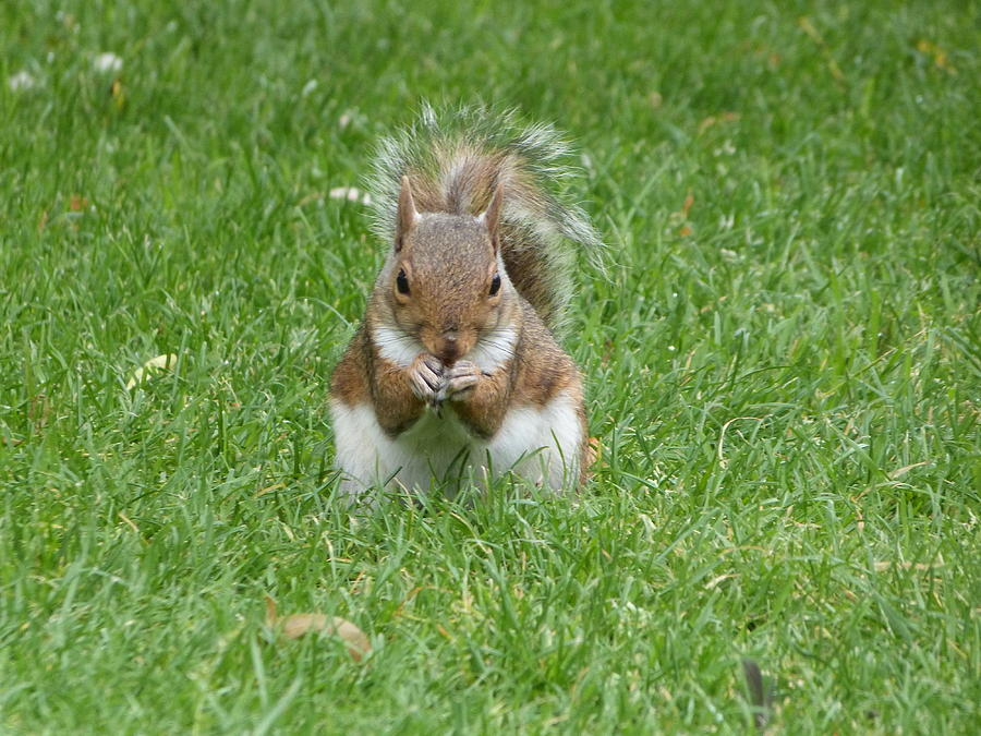 Grey Squirrel Photograph