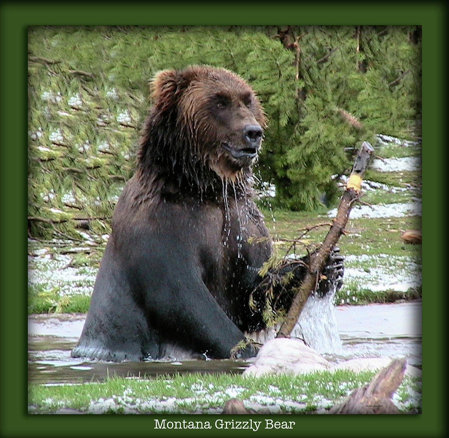 Animals Photograph - Grizzly Bear 07 by Thomas Woolworth