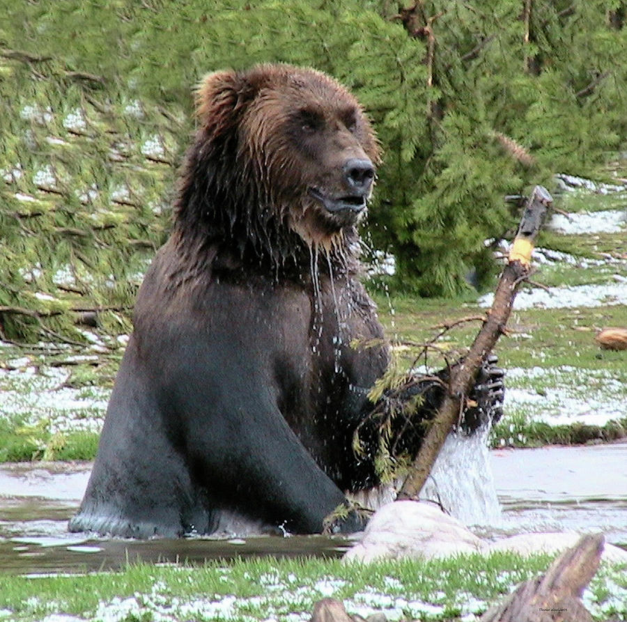 Grizzly Photograph - Grizzly Bear 6 by Thomas Woolworth