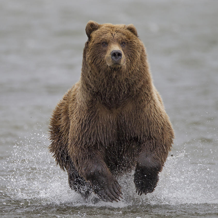 Grizzly Bear Chasing Salmon Lake Clark is a photograph by Ingo Arndt ...