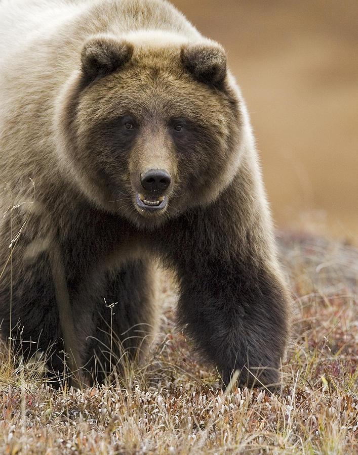 Grizzly Bear- Eye To Eye Photograph