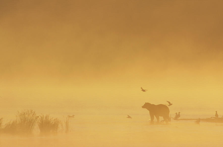Grizzly Bear In Morning Fog Photograph