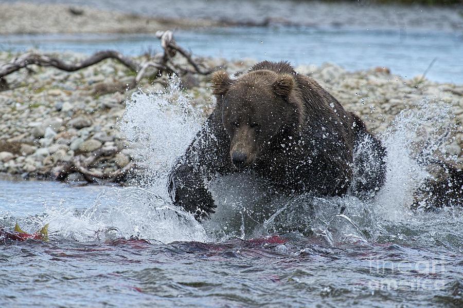 Brown Bear Pouncing On Salmon Photograph