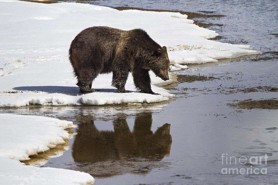 Grizzly Bear Reflected In Water Photograph
