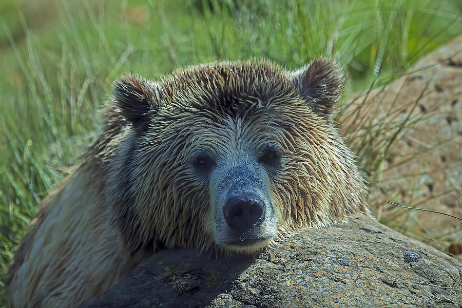 Grizzly Bear Resting Photograph  - Grizzly Bear Resting Fine Art Print