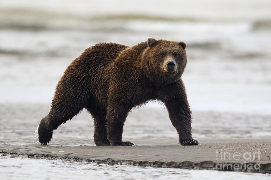 Grizzly bear walking - photo#9