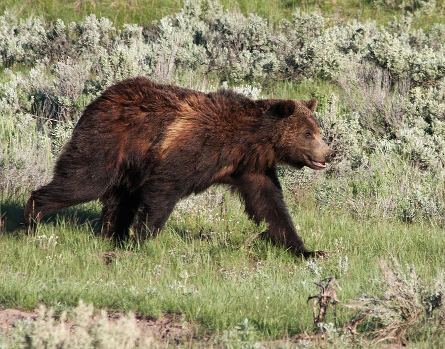 Grizzly bear walking - photo#7