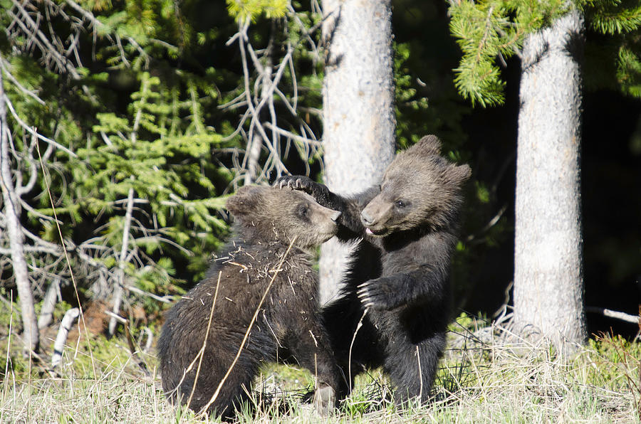 Grizzly Cubs Playing Photograph