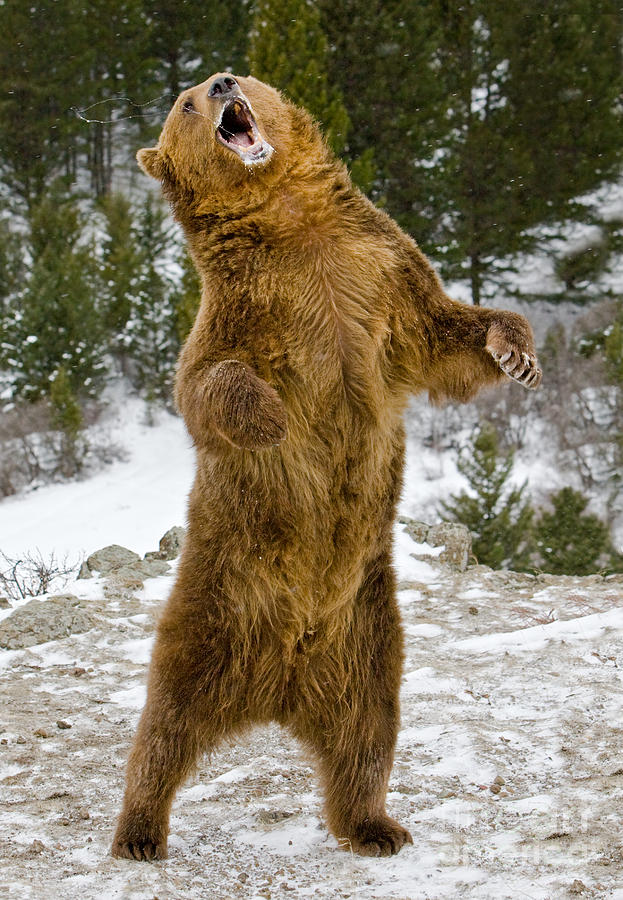 Grizzly Standing Photograph by Jerry Fornarotto