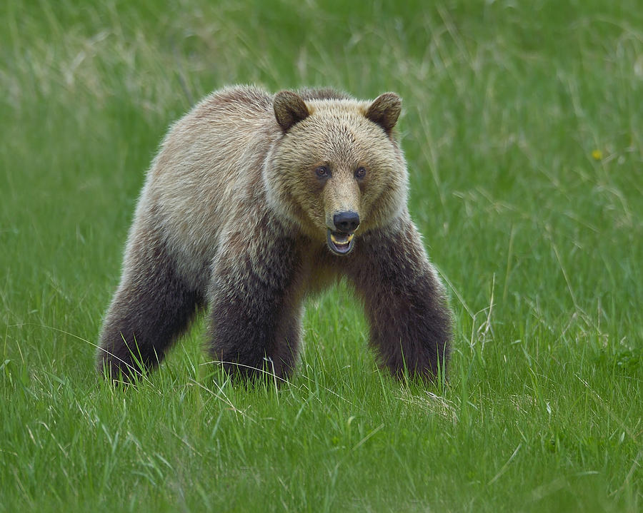 Grizzly Photograph - Grizzly by Tony Beck