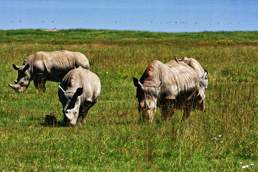 Group Of  White Rhinoceros Photograph  - Group Of  White Rhinoceros Fine Art Print
