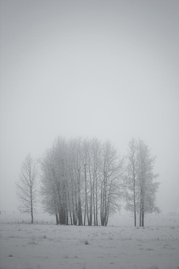Grove Of Trees Covered In Hoar Frost On Photograph  - Grove Of Trees Covered In Hoar Frost On Fine Art Print