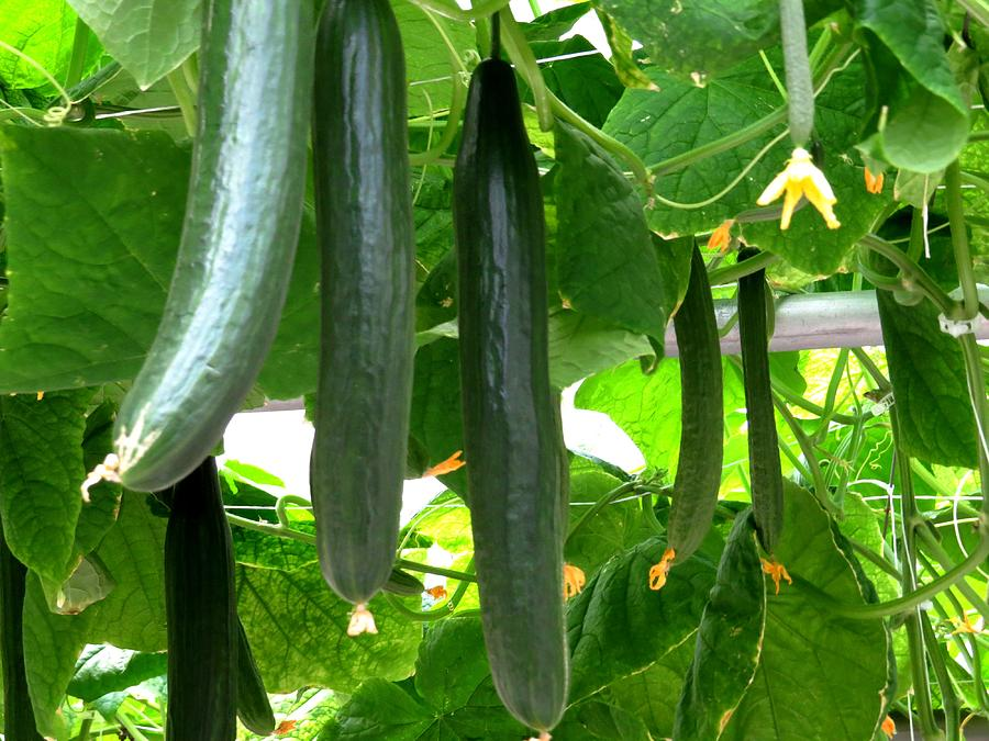 Food And Beverage Photograph - Growing Cucumbers by Zina Stromberg
