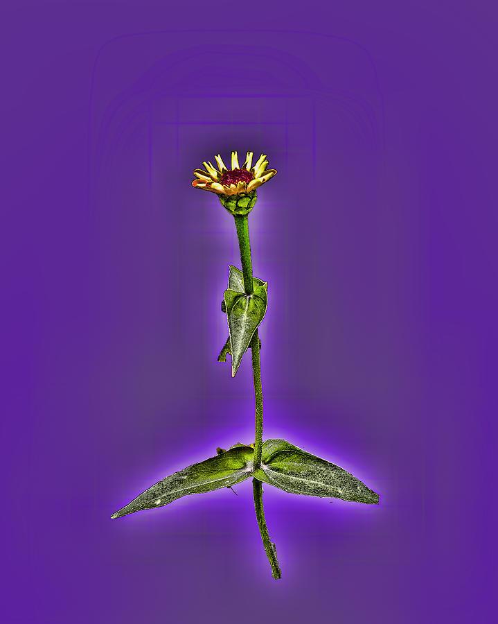 Grunge Flower - Zinnia Photograph