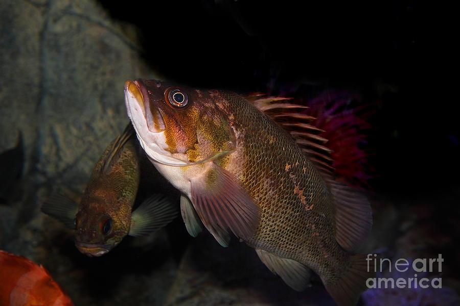 Gruper Fish 5d24129 Photograph