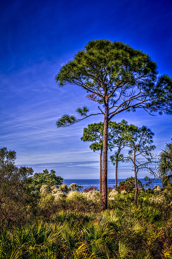 Pine Trees Photograph - Gulf Pines by Marvin Spates
