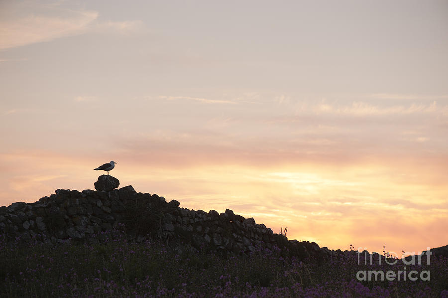 Gull At Dusk Photograph  - Gull At Dusk Fine Art Print