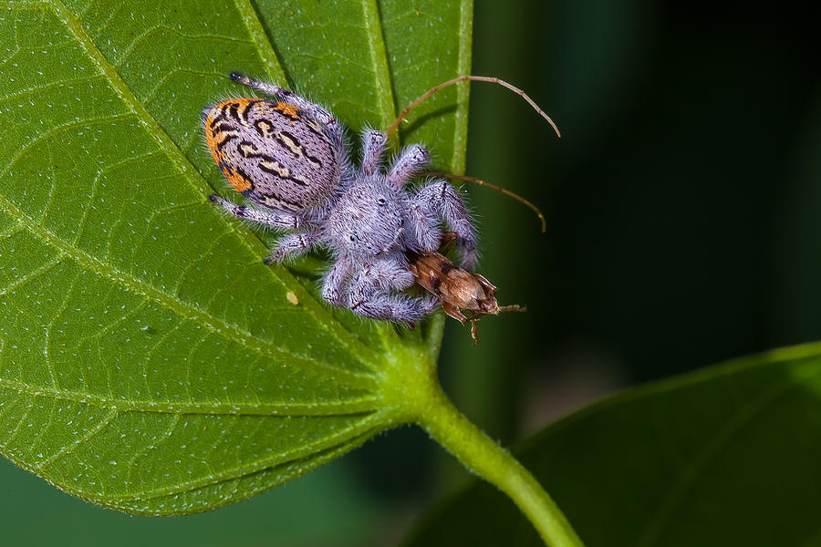 Hairy White Spider Eating A Bug Photograph