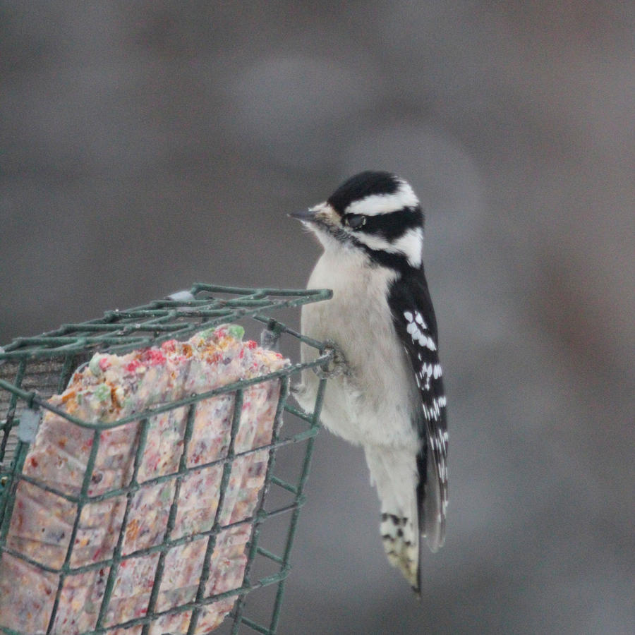 Hairy Woodpecker Photograph