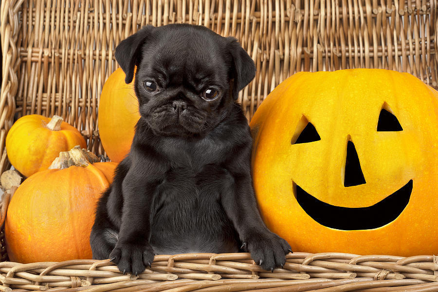 Puppy Photograph - Halloween Pug by Greg Cuddiford