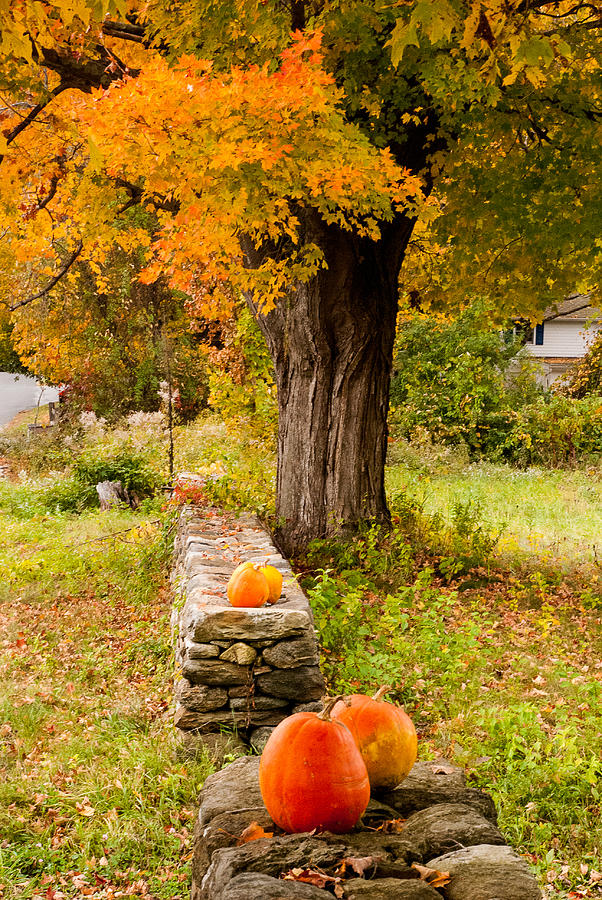 Halloween Pumpkins And Stone Wall Connecticut Photograph